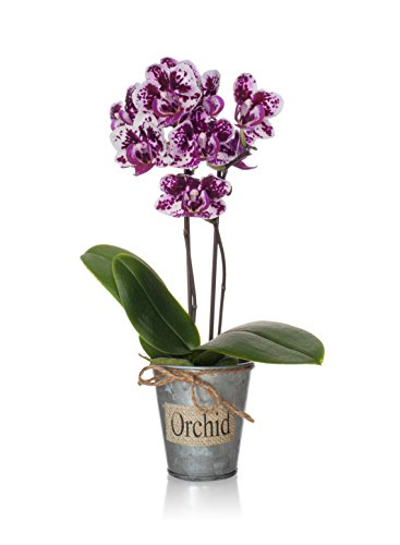 Just Add Ice 303656 Rustic Mini Orchid (Just Add Ice)