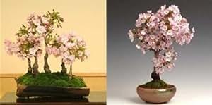 10 piezas de color rosa semillas de árboles de cerezo, plantas interesantes en las floraciones Japón Sakura