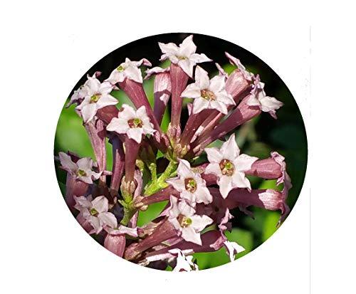 Purple Cestrum Day Blooming Jasmine Live Tropical Flowering Plant Shrub Fragrant Lavender Mauve Bloom Starter Size 4 Inch Pot Emerald Tm