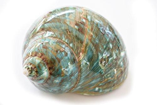 FSG - Large Polished Jade Turbo (3'' - 3 1/2'') 1 1/2'' opening Beach Crafts Nautical Decor Large Hermit Crabs - Florida Shells and Gifts by Florida Shells and Gifts Inc.