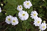 Feverfew Snowball White Flowers 100 Seeds, Tanacetum Parthenium Exriscape Mgg003