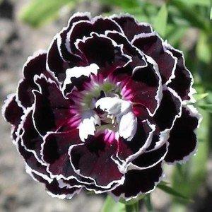 Dianthus 'Black Lace' 20 Samen - Nelke Samn