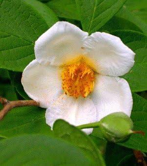 JAPANESE STEWARTIA Stewartia Pseudocamellia 10,20 SEEDS