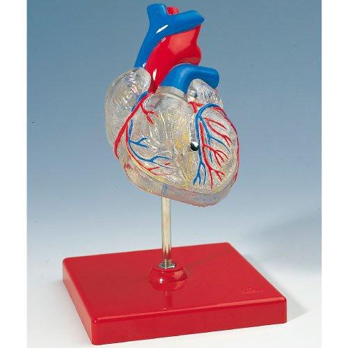 高速配送 心臓2分解モデル(透明型) G08 G08/3/3 B010AOH56M B010AOH56M, ECカレント:5238d34e --- a0267596.xsph.ru