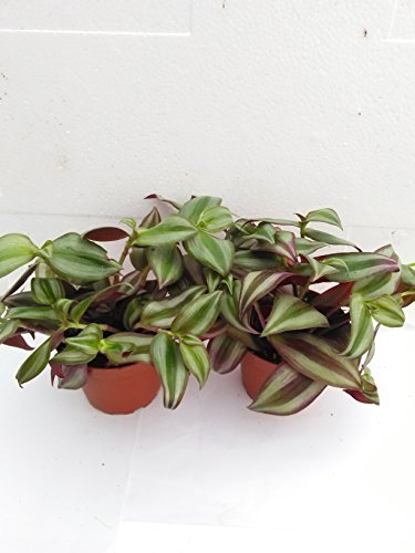"""Two Purple Wandering Jew - 4"""" Hanging Pot - Easy to Grow House Plant - Inch Plant Unique From Jm Bamboo"""