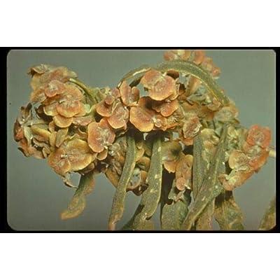 Four-Wing Saltbush Atriplex Canescens 75+ Seeds Unique Bush : Garden & Outdoor