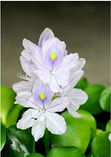 Water Hyacinth Eichornia crassipes - Floating Live Pond Plant - Lot of 3