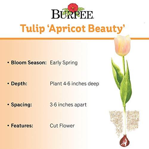 Burpee's Apricot Beauty Tulip - 10 Flower Bulbs | Apricot | 12 - 14cm Diameter by Burpee (Image #1)