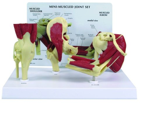 Human Mini-Muscled Joint Anatomical Model Set #1900 - Description Model