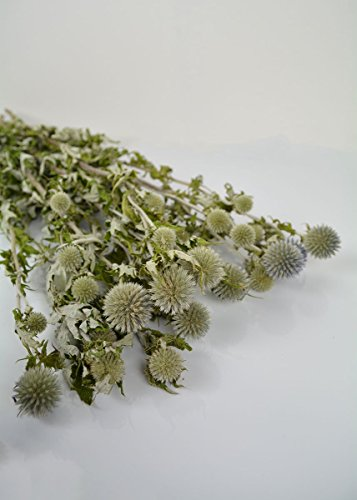 Green Thistle (Dried Natural Globe Thistle - Echinops in Blue Green - 5 oz Bunch - 19