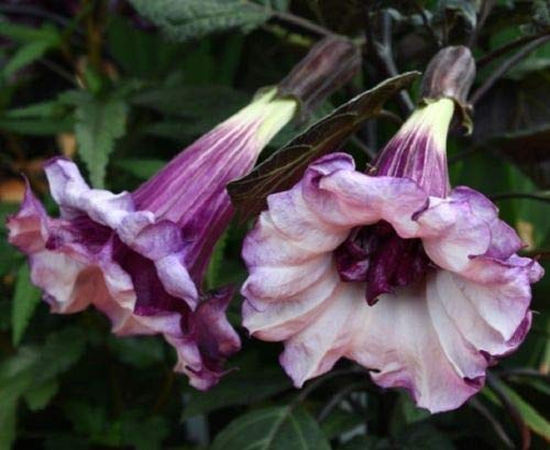 (10 Double Purple Angel Trumpet Seeds Brugmansia Datura Flower Fragrant Small)