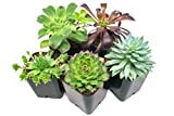 Succulent Plants (12 Pack) Fully Rooted in