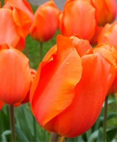 SILKSART 10 BULBS ORANGE Tulip Bulbs Perennial Bulbs for Garden Planting Size 12+cm FALL SHIPPING