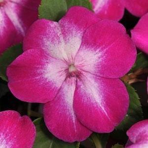 Outsidepride Impatiens Violet Starburst - 200 Seeds (Violet Starburst)