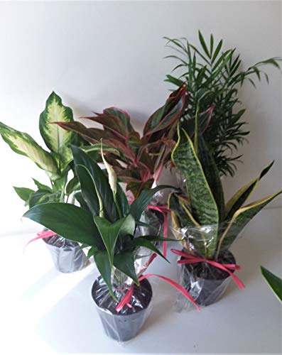 Bargain Collection of Five Easy Care Emeritus Gardens Organic Plants in Four inch Pots