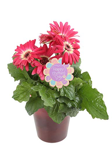 Costa Farms Gerbera, Transvaal Daisy Live Outdoor Plant 1 QT Décor Pot, Excellent Gift, Pink by Costa Farms (Image #1)