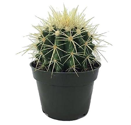 Amazon.com: Cactus – Echinocactus grusonii – Maceta 4 ...