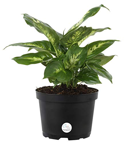Costa Farms Dieffenbachia, Dumb Cane, Live Indoor Plant, 12 to 15-Inches Tall, Ships in Grow Pot, Fresh From Our Farm, Excellent Gift