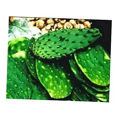 GVII 1/2 LB Edible Nopalitos - Spineless Prickly Pear Cactus Pads Nopales - RK178 : Garden & Outdoor