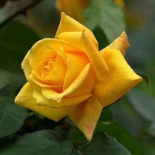 10 Rare Yellow Rose Seeds Flower Bush Perennial Shrub Garden Home Exotic Garden ()