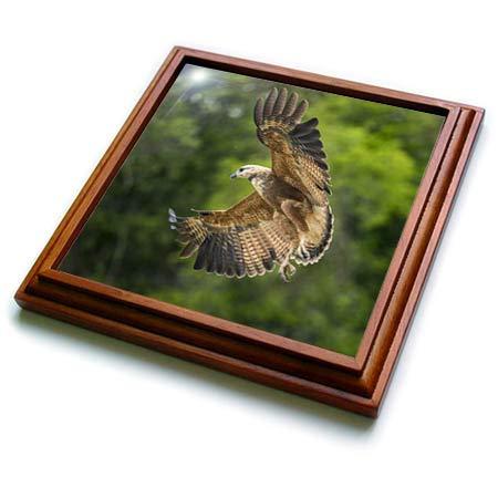 3dRose Danita Delimont - Hawks - Brazil, Pantanal. Black-collared hawk flying. - 8x8 Trivet with 6x6 ceramic tile (trv_314064_1)