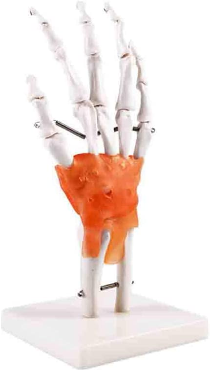 PVC Human Hand Skeleton Medical Anatomical Model on Base Stand,Life Size BXUFEI Human Hand Joint Model Articulated
