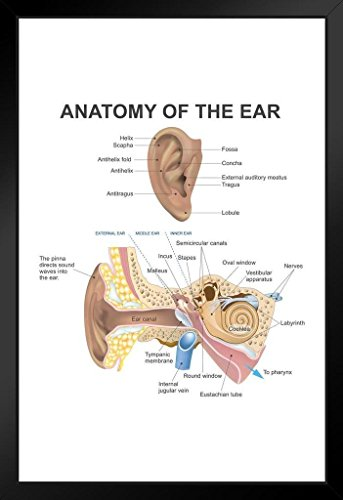 Anatomy of The Human Ear Diagram Chart Framed Poster 14x20 inch ()