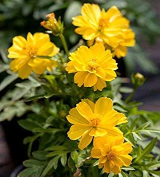 BloomGreen Co. Cosmos Yellow Flower Seeds (AVG 50-100) Seeds X 2 Packet (Lcd Graphic Modules)