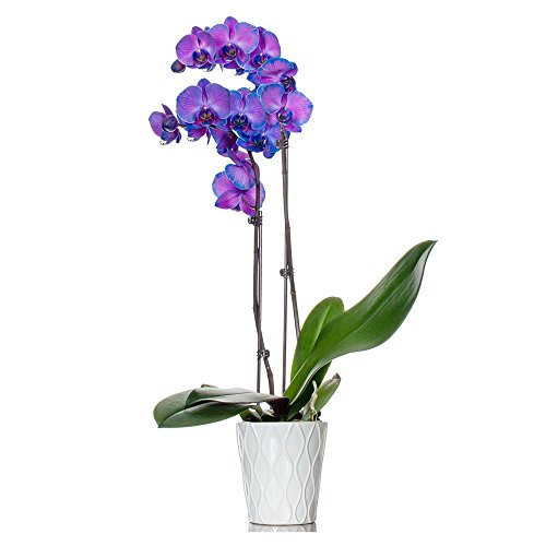 Florists - Purple-Blue Orchid in 5 inch White Container - Live Indoor Orchid