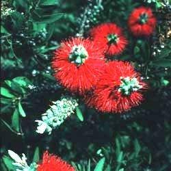 LITTLE JOHN Dwarf Bottlebrush Tree Live Plant Rare Miniature Flowering Shrub Bonsai Starter Size 4 Inch Pot Emerald Tm (Brush Tree Bottle Red)