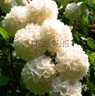 ShopMeeko Seeds:New Arrival!Two-Color Red White Univalve Geranium Bonsai Flower Pelargonium Peltatum Plant for Indoor Rooms 20pcs : Dark Khaki