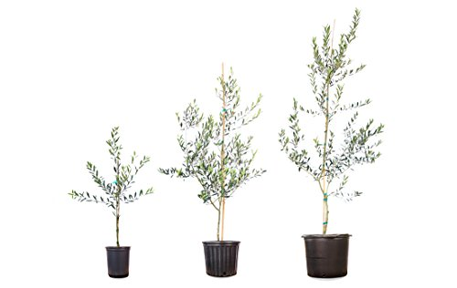 Arbequina Olive Tree - live Plant, Includes Special Blend Fertilizer & Planting Guide by PERFECT PLANTS (Image #4)