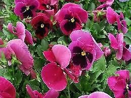 Amazon pansy pink 50 seeds one of the largest pansy flowers pansy pink 50 seeds one of the largest pansy flowers mightylinksfo