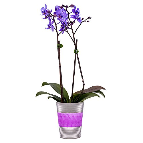 DecoBlooms Living Purple Orchid Plant - 3 inch Blooms - Fresh Flowering Home Décor
