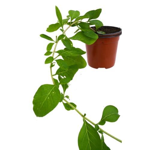 erección de plantas de bayas de goji