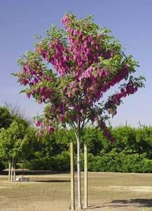 1 Bare Root of Purple Robe Locust 7-8 ft.