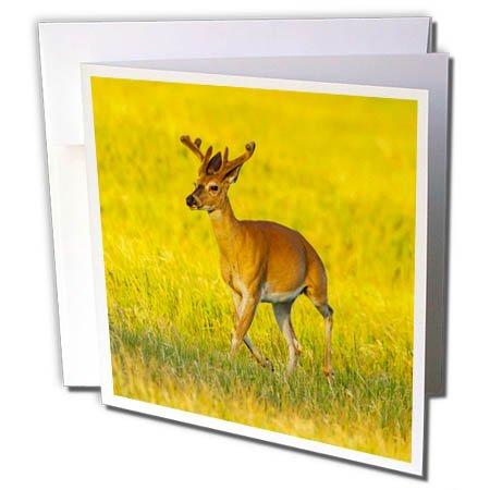 3dRose Danita Delimont - Deer - South Dakota, Custer SP. White-tailed deer buck with velvet antlers. - 12 Greeting Cards with envelopes (gc_260004_2) ()