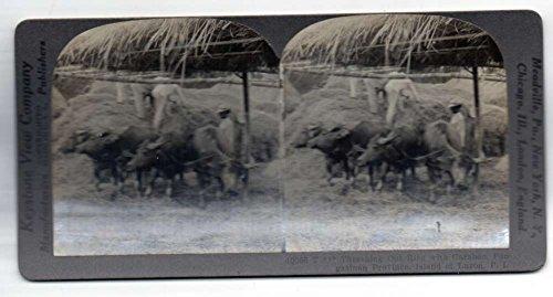lippines Threshing Rice Carabao Antique Stereoview J70488 ()