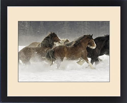 Framed Print of Belgian Horse roundup in winter, Kalispell, Montana. Equus ferus caballus by Fine Art Storehouse