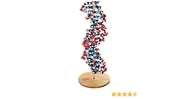 Amazon Com Molecular Models 14 Dna2700c 17 Base Pair Dna Model Kit Completely Assembled Industrial Scientific