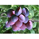 Hot Sale 50pc 2015 Fresh Organic plum seeds NON-GMO 10 kinds Fruit Seeds Four Season Planting Free Shipping