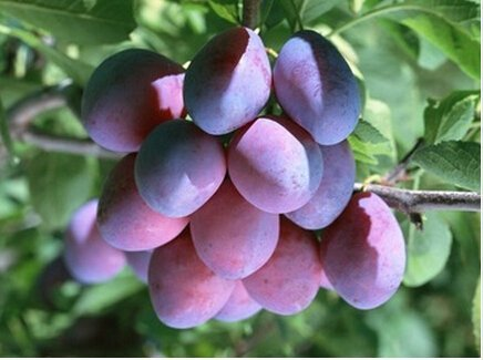 (Hot Sale 50pc 2015 Fresh Organic plum seeds NON-GMO 10 kinds Fruit Seeds Four Season Planting Free)
