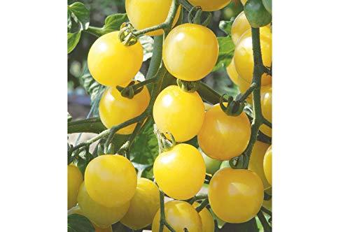 David's Garden Seeds Tomato Cherry White D29797 (Yellow) 50 Non-GMO, Organic Seeds