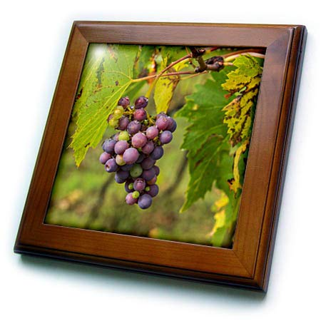 3dRose Danita Delimont - Fruit - Italy, Tuscany, Chianti, Autumn, Harvest Grapes Waiting to be Picked - 8x8 Framed Tile ()