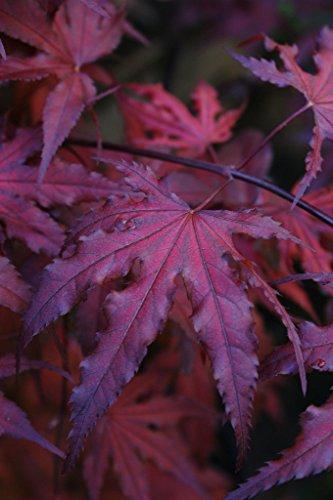 Purple Ghost Japanese Maple Acer Palmatum Purple Ghost 2 Year