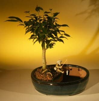 Amazon Com Bonsai Boy S Ficus Oriental Bonsai Tree Water Bonsai Pot Ficus Orientalis Garden Outdoor
