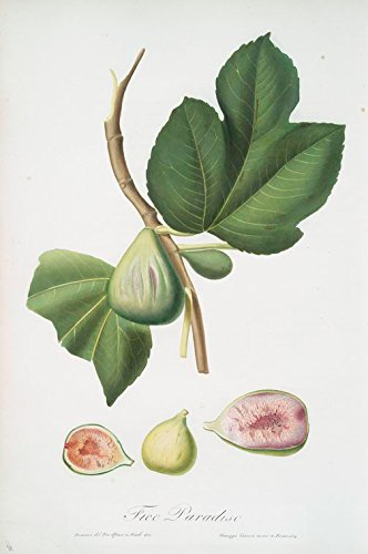 Fig Art - Historic Pictoric Print | Fico paradiseo. [Ficus carica bifera ; Fig], 1817 | Vintage Wall Art | 16in x 24in
