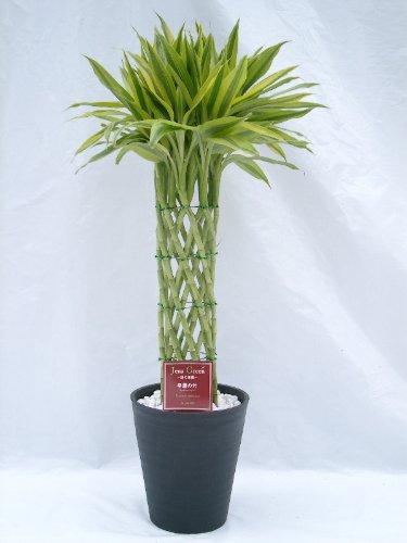 ラッキーバンブー 8号(8寸鉢) 「ミリオンバンブー」などと呼ばれる縁起のいい観葉植物 ギフトにオススメのインテリアグリーンです。 B0042QK30K
