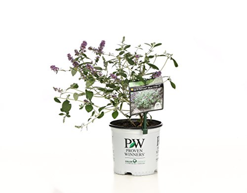1 Gal. Lo & Behold 'Blue Chip Jr.' Butterfly Bush (Buddleia) Live Shrub, Blue-Purple Flowers