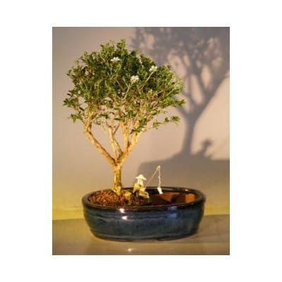 Bonsai Boy's Flowering Mount Fuji Bonsai Tree Water Land Container - Medium serissa foetida: Garden & Outdoor